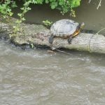 Terrapin on the Ashby Canal Midlands